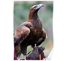 Australian Wedge Tailed Eagle Poster