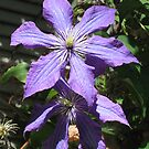 Clematis Jackmanii by Pat Yager