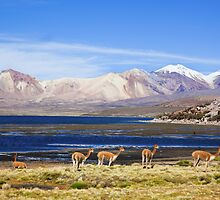 vicuna by Bob Wickham