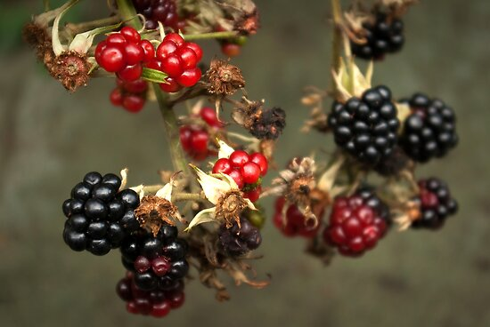 Blackberries in my dad's garden by steppeland