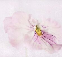 Pink Pansy by garts