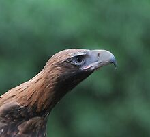 Wedge-tailed Eagle by DanielTMiller