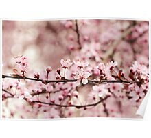 Vintage Cherry Blossoms Poster