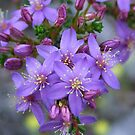 calytrix leschenaultia by Rick Playle