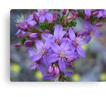 calytrix leschenaultia Canvas Print