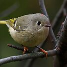 Ruby-crowned Kinglet by Jim Cumming