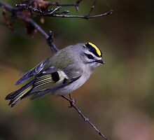 Golden-crowned Kinglet by Jim Cumming