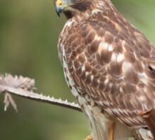 Red-shouldered Hawk  Sticker