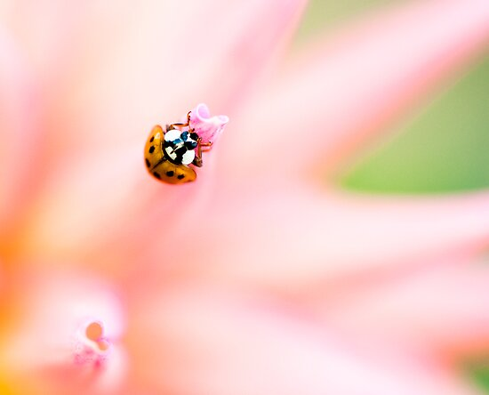 Lady bug on pink by Beth Wold
