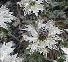 Eryngium giganteum by Catherine Dipper