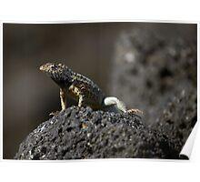 Galapagos Lava Lizard Poster