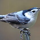 White-breasted Nuthatch by Bill Miller