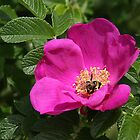 Wild Rose by Gail Falcon