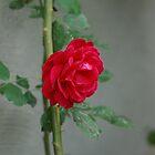 Red Rose by TaraShu