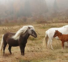 Wild Ponies of Grayson Highlands by Chris Snyder