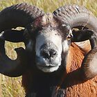 Wild Sheep by MaeBelle