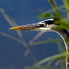 Great Blue Heron II by Rick  Bender