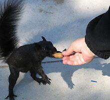Little Black Squirrel by plunder