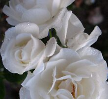 Fresh Laundry White Roses by MarianBendeth