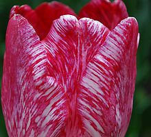 Tulip at the park, White and red. by Lozzar Flowers & Art