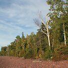 Birch and Pine by Karen K Smith