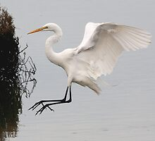 Great White Egret landing on water by Wing Tong