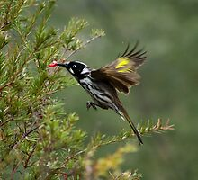Hovering Honey Eater by WendyJC