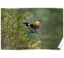 Hovering Honey Eater Poster