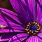 Magenta: African Daisy by taiche
