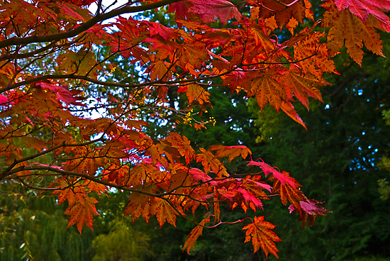 Acer Leaves by Trevor Kersley