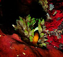 Anemone fish by Aziz T. Saltik