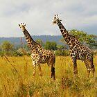 Masai Giraffes by Ann Douthat