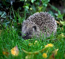Mrs Prickles the hedgehog by Dave  Knowles