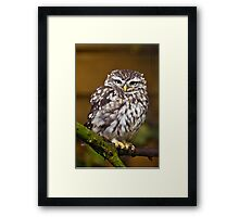 Little owl sat on a branch Framed Print