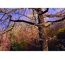 Time of Freshness. Sakura Blossoming  Photographic Print