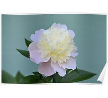 Soft Pink and White Peony Poster