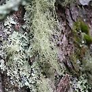 Lichens & Moss in the Blue Ridge Mnts of North Carolina by Linda Costello Hinchey