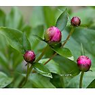 Peony Buds by Leslie Nicole