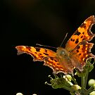 Autumn Comma by jesika