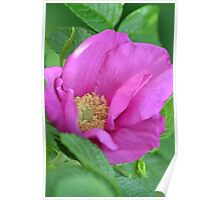 Old English Pink Rose Poster
