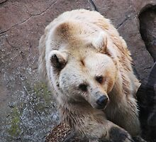 Brown Bear by sath