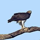 Martial Eagle by Michael  Moss