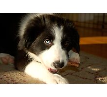Baby Gracie (Border Collie) Photographic Print