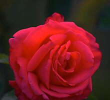 Red Rose at Twilight by Allan  Erickson