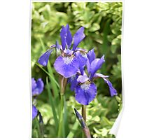 Purple Lent A Williamson Bearded Iris Couple Poster