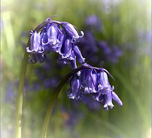 Bluebells by M.S. Photography/Art