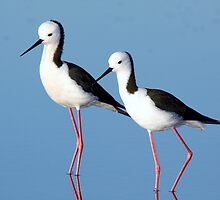Black-winged Stilts by mistertroy