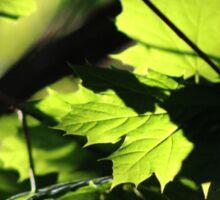 Morning Light in the Maple Tree Sticker