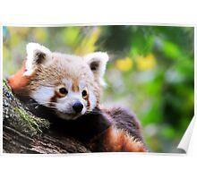 LITTLE RED PANDA Poster
