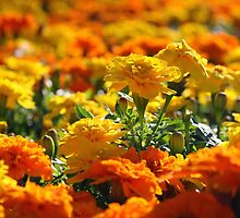 Marigolds by Ruth Durose